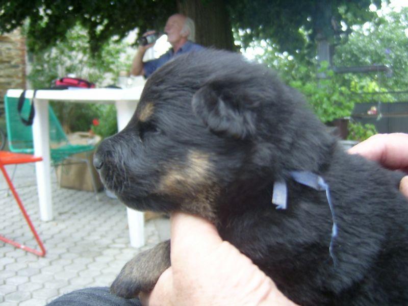 tmavě modry pes